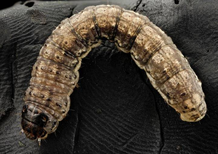 Cutworm Management
